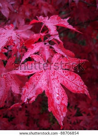 Japanese Maple Bloodgood - stock photo