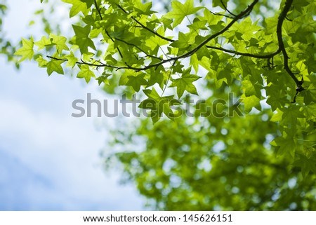 Japanese maple green leaves and sky background - stock photo