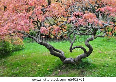 Japanese Maple in Autumn - stock photo