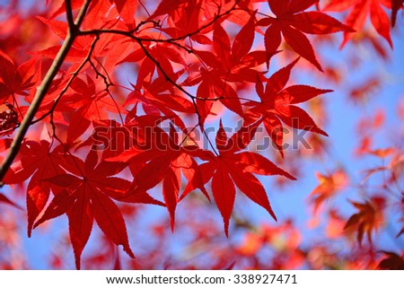 Japanese maple in autumn season, momiji  koyo season - stock photo