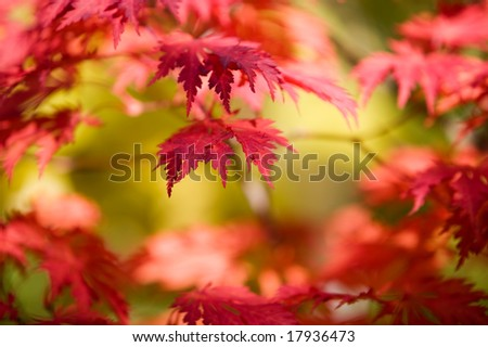 Japanese maple in beautiful autumn colors - stock photo