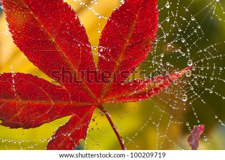Japanese maple leaf in autumn color suspended in dew covered spiderweb - stock photo