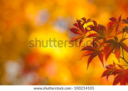 Japanese maple leaves in autumn - stock photo