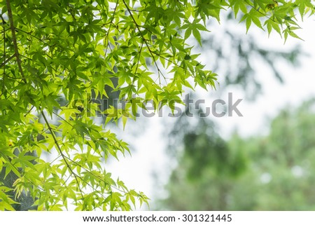 Japanese Maple leaves in summer, Kyoto, Japan.  - stock photo