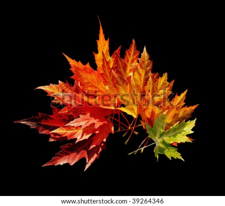 Japanese maple leaves isolated on black, clipping path - stock photo