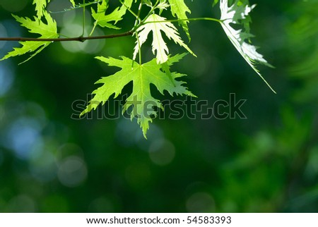Japanese maple's leaves over green background - stock photo
