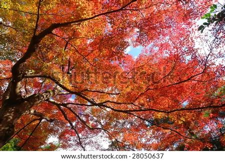 japanese maple tree (Kyoto, japan)  - stock photo