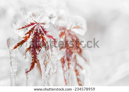 Japanese maple tree leaves covered in ice and icicles during winter - stock photo