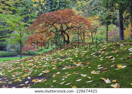 Japanese Maple Tree with Falling Leaves at Portland Japanese Garden in Autumn Season - stock photo