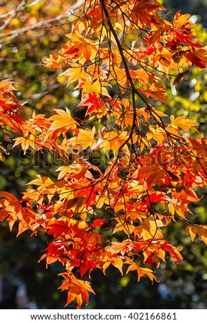 Japanese maple trees and bushes with colourful leaves during autumn - stock photo