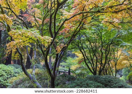 Japanese Maple Trees Fall Color Foliage by the Moon Bridge at Portland Japanese Garden in Autumn Season - stock photo