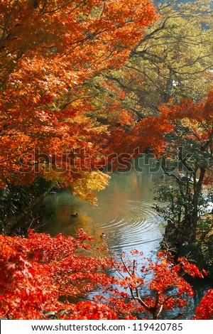 Japanese maple trees in the park, Kyoto, Japan. - stock photo