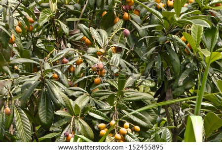 Japanese medlar shrub with mature fruit. - stock photo