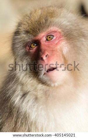 Japanese monkey - stock photo