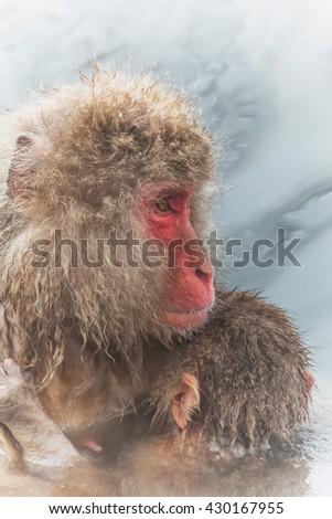 Japanese monkey of the hot spring - stock photo