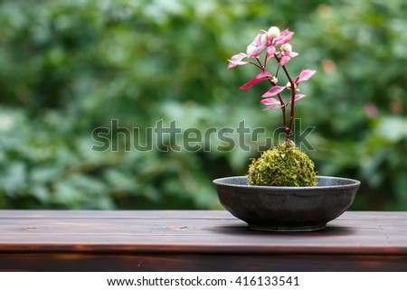 Japanese Moss Bonsai