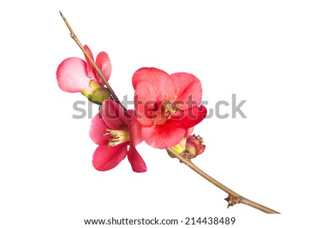 Japanese Quince,��� Chaenomeles japonica, in bloom. Isolated on white background. - stock photo