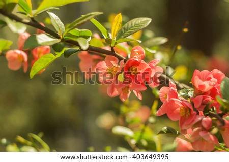 Japanese quince - Chaenomeles, small spring red flowers