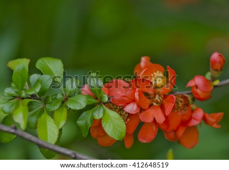 Japanese quince in bloom background. Red flower blossom in the park at spring. - stock photo