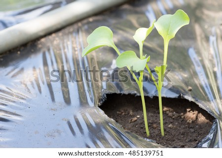 Japanese radish also known as a Daikon just sprouting on farm
