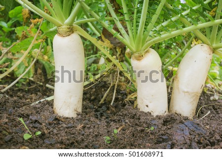 Japanese radishes, daikon, growing in a farm in october