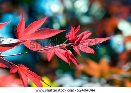 Japanese red maple  (acer palmatum rubrum) - stock photo