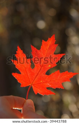 Japanese red maple leaf in human hand, contains clipping path - stock photo
