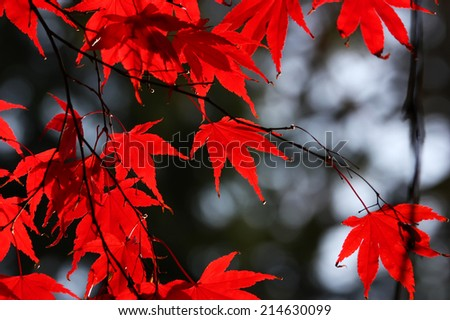 Japanese red maple leaves in autumn - stock photo