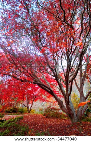 Japanese Red Maple tree - stock photo