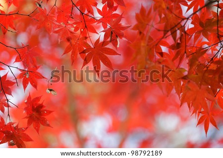 japanese red maple tree background during fall season, Kyoto, Japan - stock photo