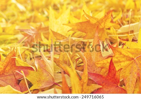 Japanese Red Maple Tree Dry Autumn Leaves fallen on the ground as natural seasonal background/ Selective focus with shallow depth of field. - stock photo
