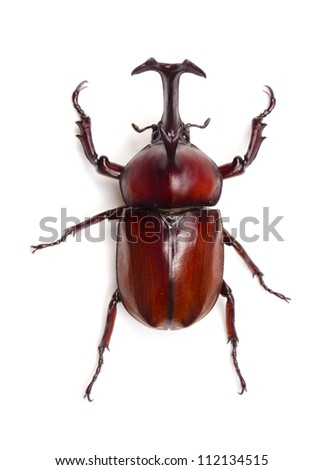 Japanese rhinoceros beetle - stock photo
