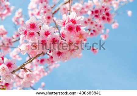 Japanese sakura and blue sky in chiang mai thailand ,selective focus