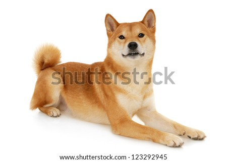 Japanese Shiba Inu dog in front of a white background - stock photo
