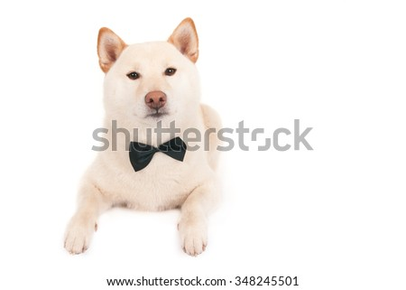 Japanese Shiba Inu dog with a black bow-tie, looking at camera, isolated on white - stock photo