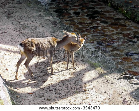 Japanese shrine deer - stock photo