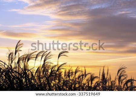 Japanese silver grass at sunrise. - stock photo