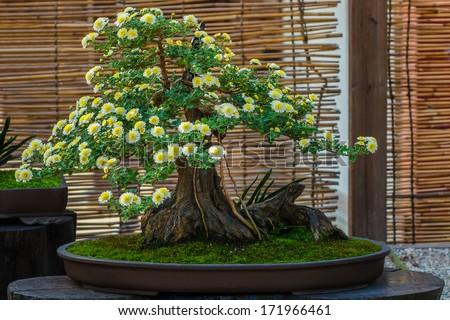Japanese small bonsai tree in a garden - stock photo