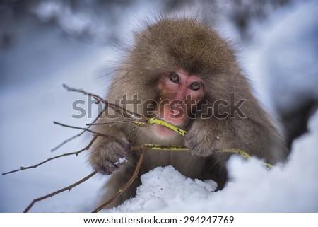 japanese snow monkey - stock photo