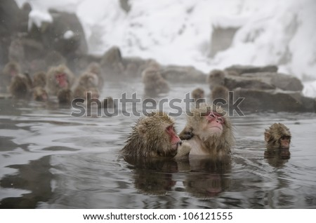 Japanese snow monkeys relaxing in a natural onsen (hot spring), located in Jigokudani (Hells Valley) Japan.