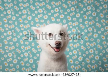 Japanese Spitz Dog - stock photo