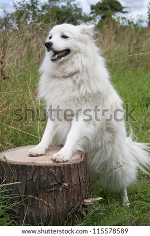 Japanese spitz dog standing on a log outside in a meadow. The breed origin is Japan, its temperament is playful, affectionate, intelligent, obedient, companionable, proud ideal family dog. - stock photo