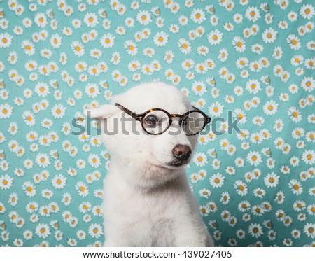 Japanese Spitz Dog with glasses - stock photo