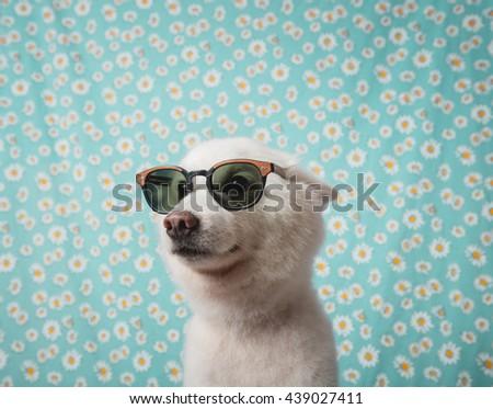 Japanese Spitz Dog with sunglasses - stock photo