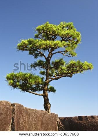 Japanese tree - stock photo