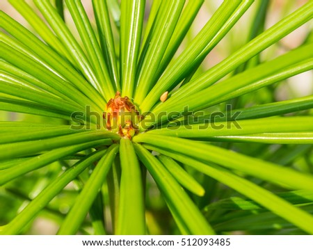 Japanese umbrella-pine (Sciadopitys verticillata) is a unique conifer endemic to Japan. It is the sole member of the family Sciadopityaceae and genus Sciadopitys, a living fossil