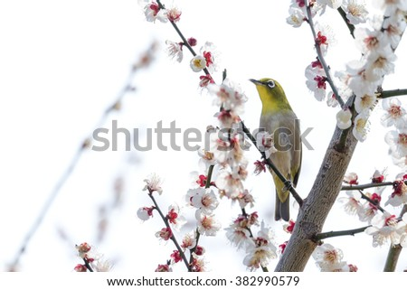 Japanese White-eye bird perching on plum branch. - stock photo