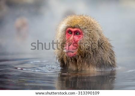 japnanese snow monkey shooting in winter - stock photo