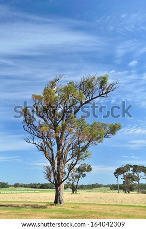 jarrah tree on australian farm with mown and baled hay - stock photo