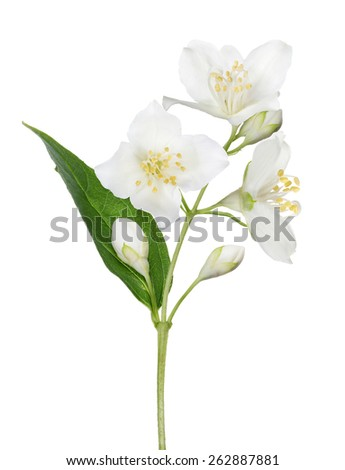 jasmin branch with flowers isolated on white background - stock photo